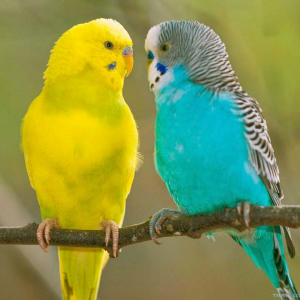 2 budgies wallpaper 02.png
